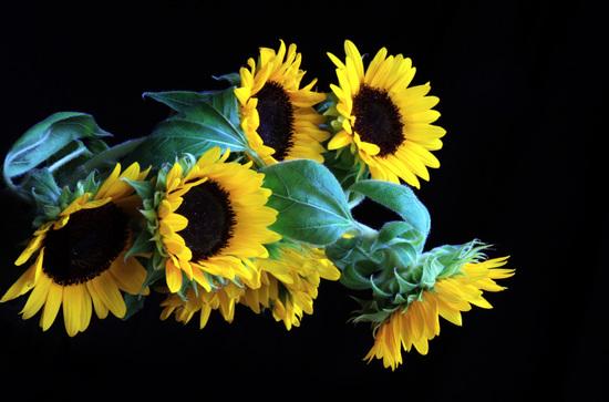 Sunflowersf